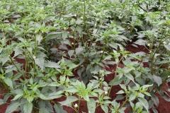Flowering Capsicum