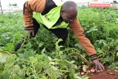 Farmer inspecting potato plants