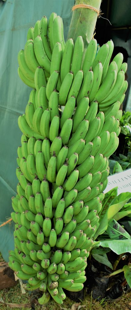 FAO sees cereal boom, protein pinch and banana risks 3