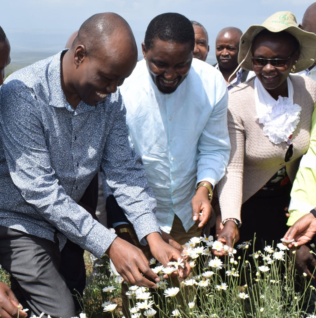 Nakuru County's pyrethrum seedlings certified 1