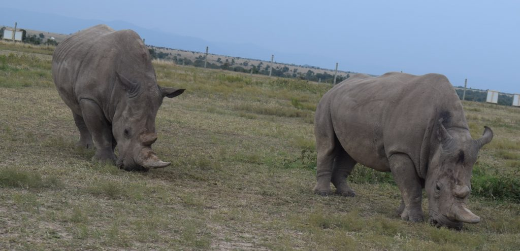 Successful Egg Harvest Breaks New Ground in  Saving the Northern White Rhinoceros 1