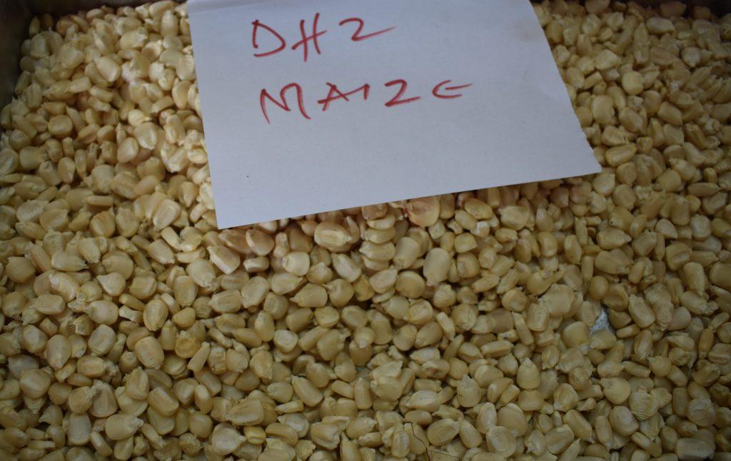 DH2 maize