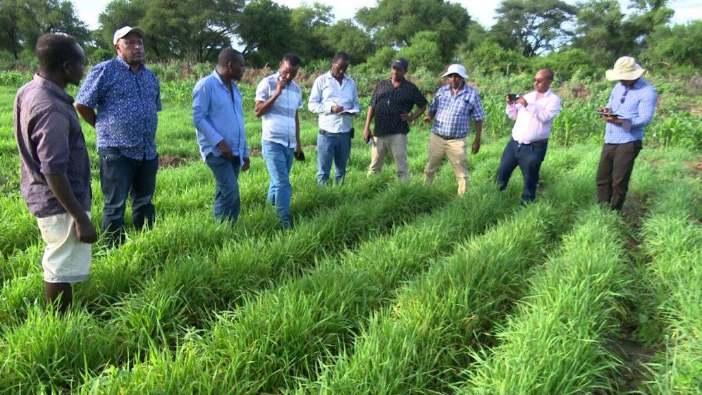 Wheat in Ethiopia 1