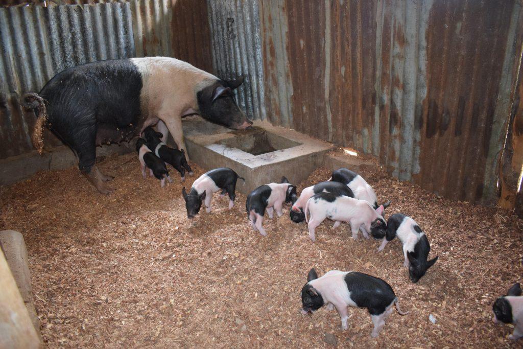 Black white pig