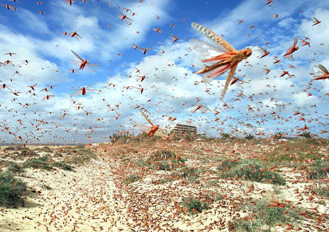 Locusts invade Northern Kenya 1
