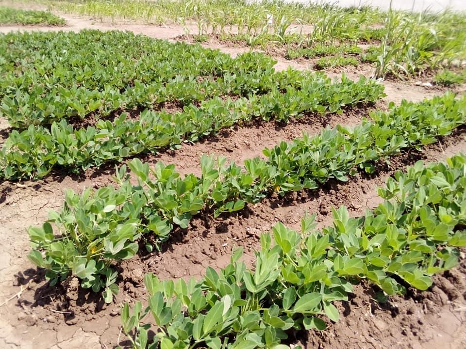 Turkana County,Egerton and FAO trial farm 1