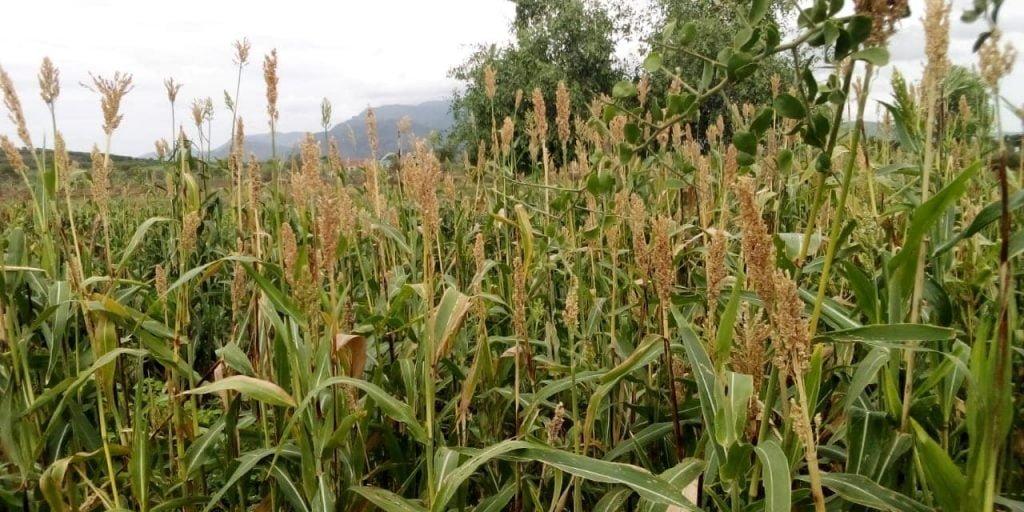 Turkana County,Egerton and FAO trial farm 3