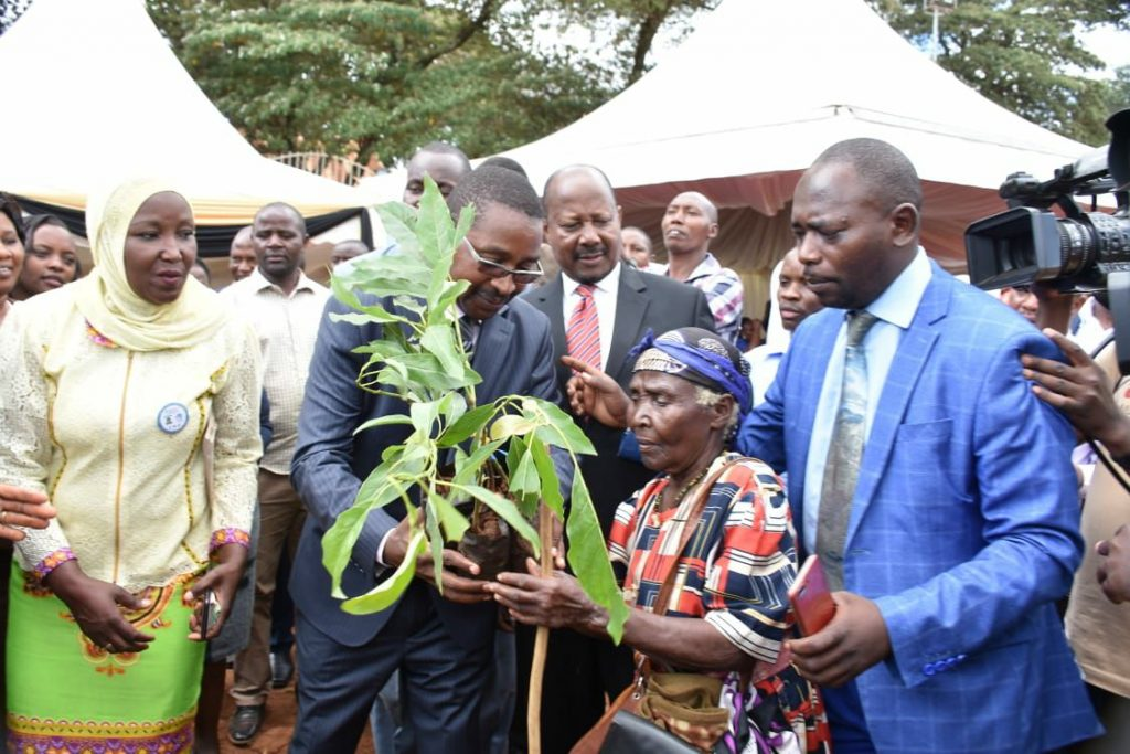 You could be jailed for cutting down an avocado tree in Murang'a 1