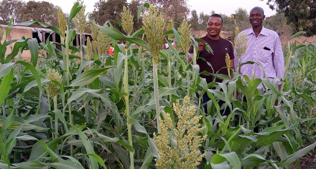 New multipurpose sorghum variety captures attention in Burkina Faso 1