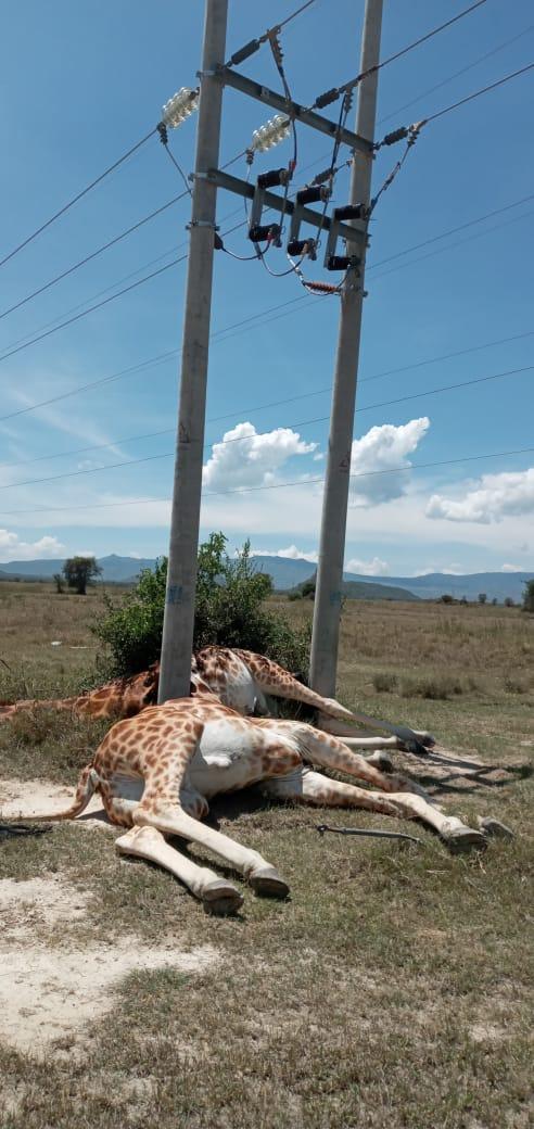 Giraffe electrocuted 2