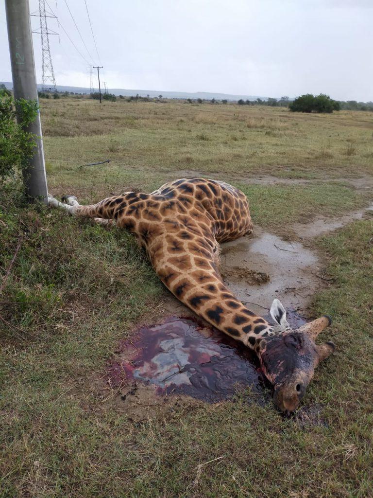 Giraffe electrocuted