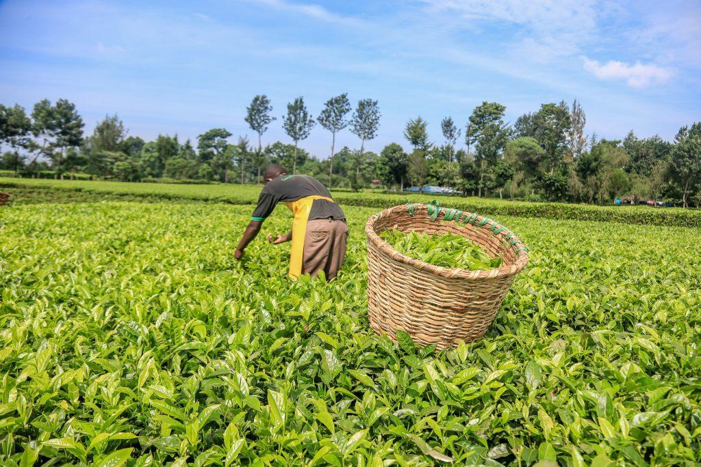 Tea File Photo min