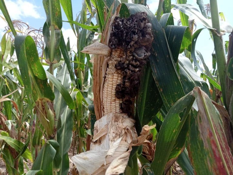 Loose Smut disease in maize