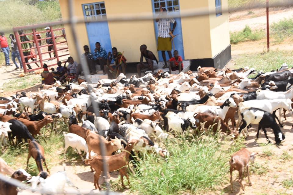 Turkana goats